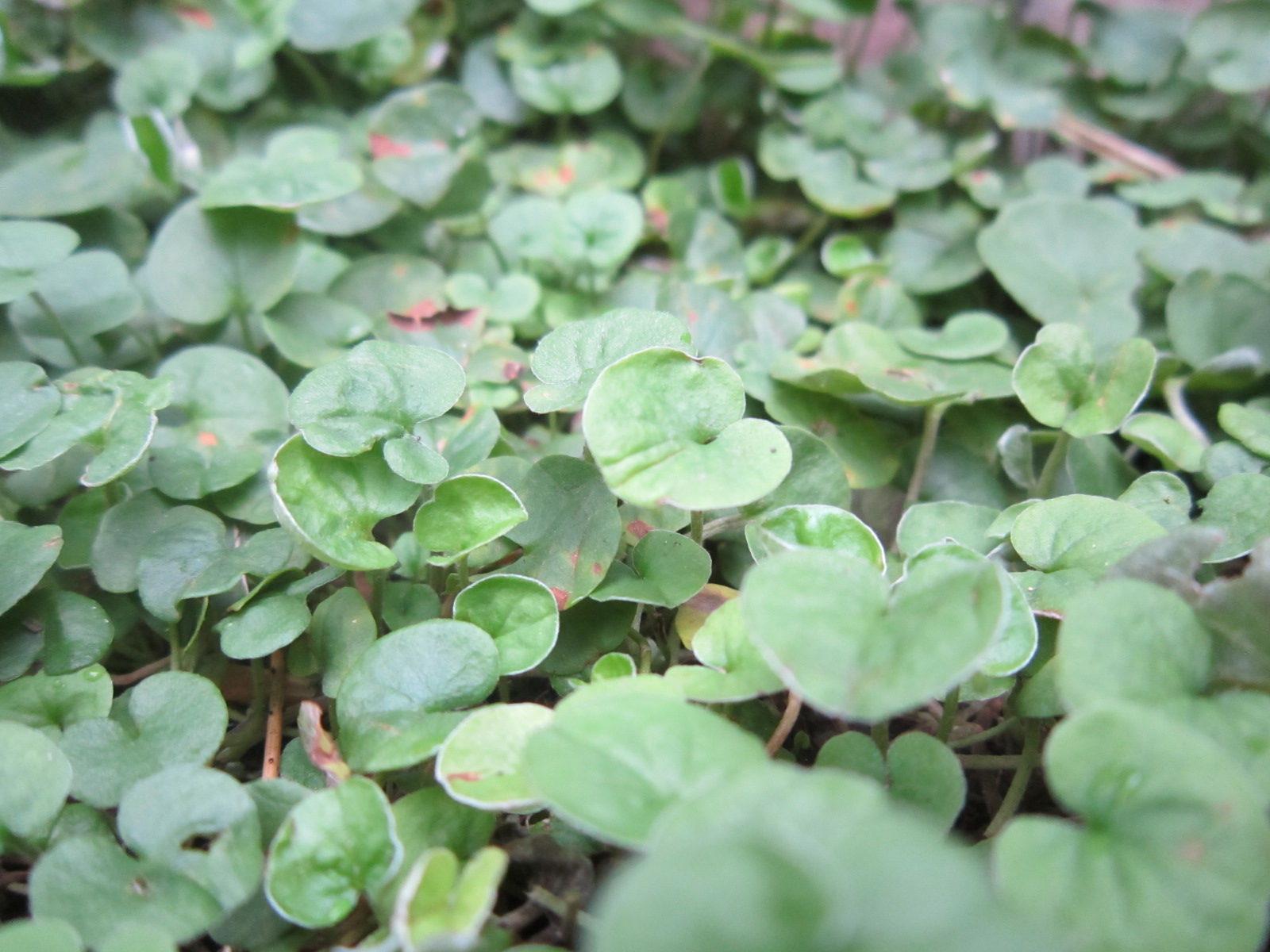 ウォーターマッシュルーム学名:Hydrocotyle verticillata