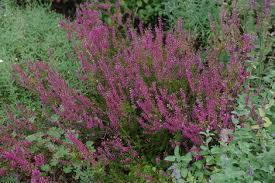 カルーナ学名…Calluna vulgaris