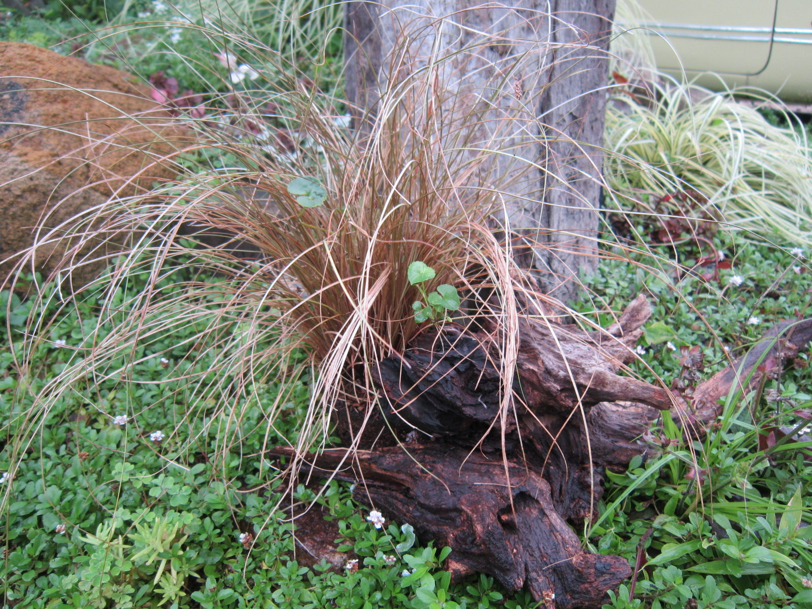 カレックス学名:Carex