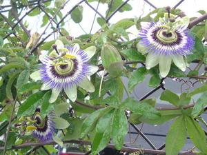 トケイ草学名…Passiflora