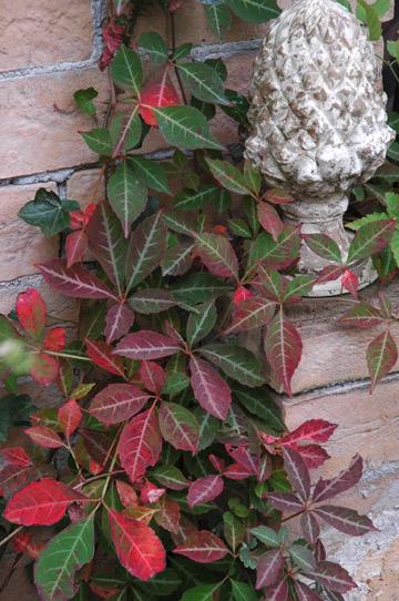 ヘンリーズタ学名:Parthenocissus henryana