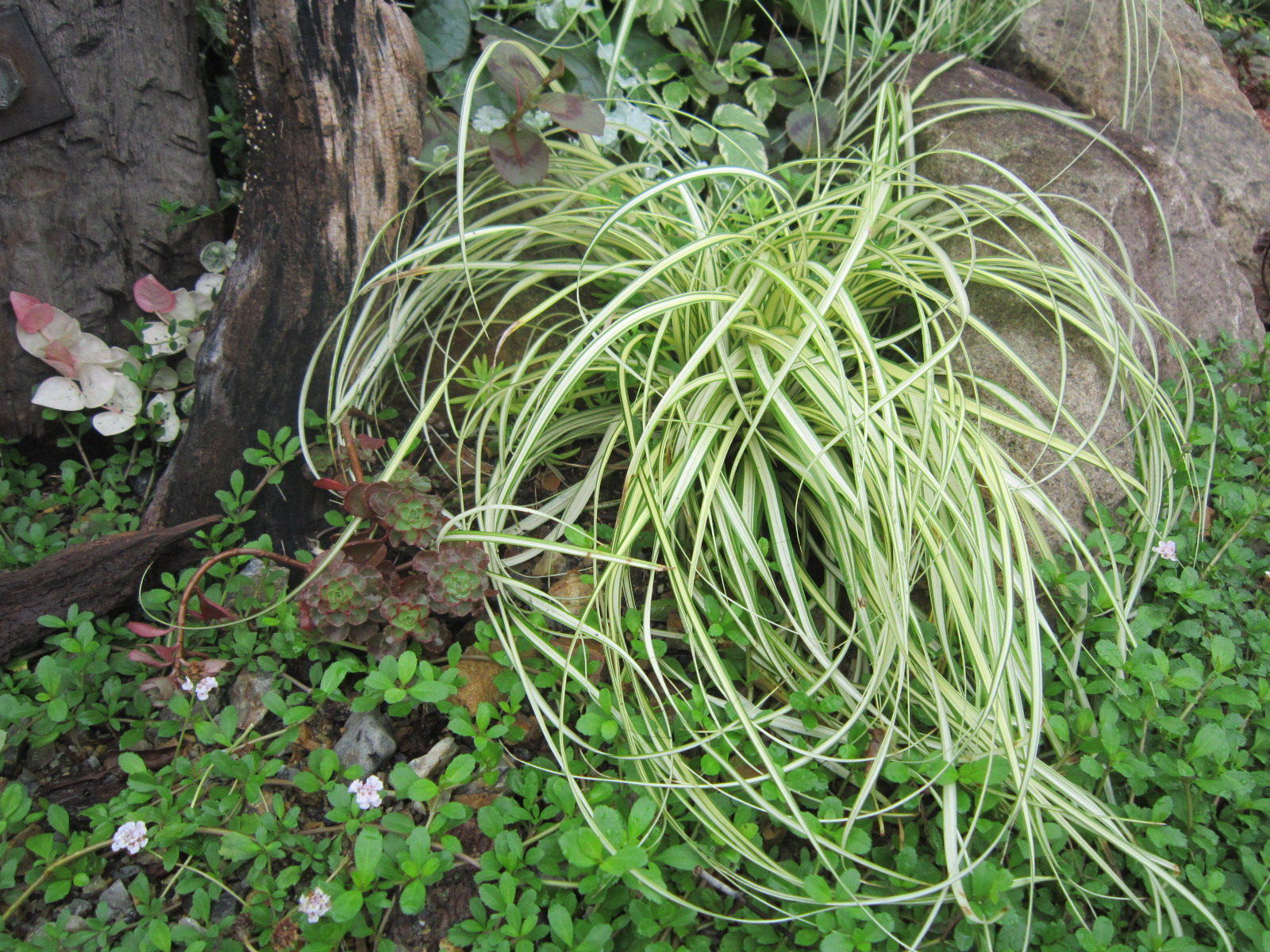 ベアグラス学 名 : Carex oshimensis ' Evergold'